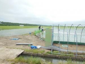 田植えが終わり、草取り用の1200羽の鴨の受入準備