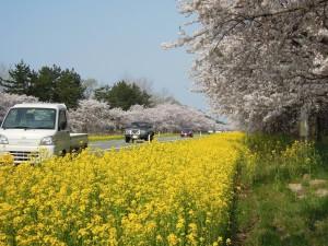 菜の花ロード(2014/4/27)