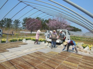 7分咲きの桜を見ながら好天での苗床作り
