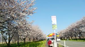 我が村自慢の菜の花と桜ロード