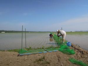 カモ除草のため田んぼの周囲にネットを張っています。