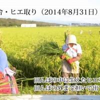 ヒエ取り作業(動画)