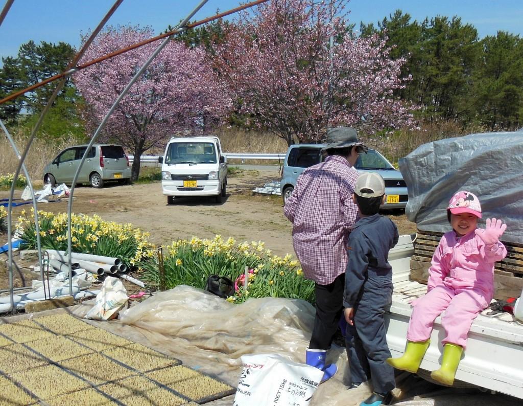 今年1回目の苗箱並べの作業。苗場の桜や水仙も満開。孫たちも大はしゃぎです 2015.4.25