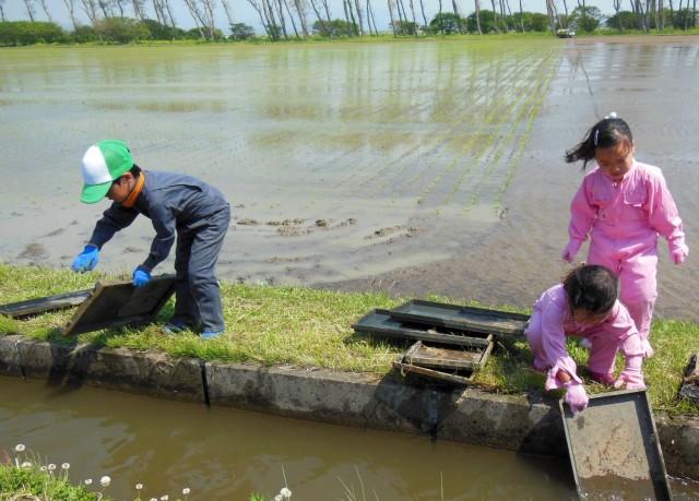 土曜、日曜日の田植えは子供たちも田圃です。小2と、幼稚園児の4才と5才の3人孫も苗箱洗いのお手伝い。