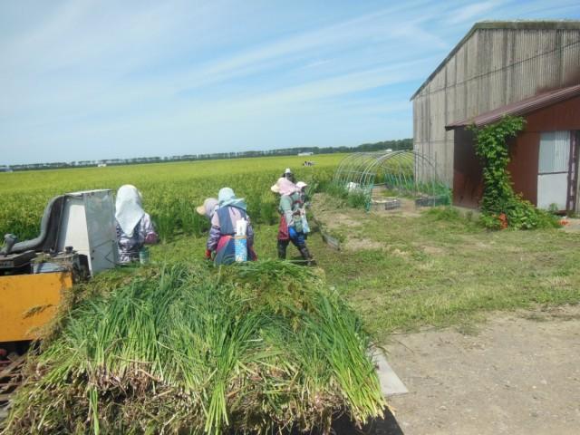 来年の雑草の発生を抑えるために、雑草の種が落ちない間の今、 最期の手取り草取りに頑張っています。(2015.8.28 撮影)