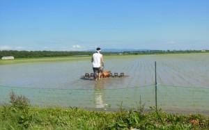 「田植えを終えれば直ぐ除草」無農薬栽培は雑草との競争。横浜の消費者Yさんが除草機掛けの助っ人で活躍。 2017.6.14撮影