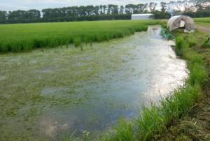 「田んぼに中に「沼」ができました。」 5月25日以降に田植えした我が家の無農薬田は、稲が低温で中々根付かず、カモ小屋の近くは、カモの活動で稲がなくなり、まるで沼のような有様。